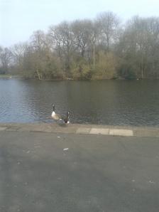 Geese in Plattfields Park