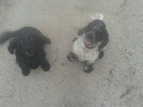 Elsa and Fred - Spaniels together!